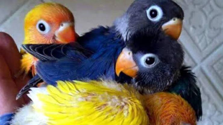 BENTUK LUBANG HIDUNG LOVEBIRD MUDA