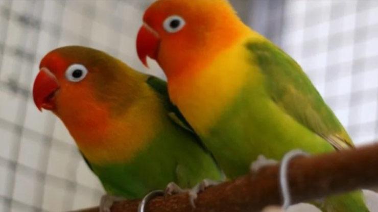 Bentuk Anus Burung Lovebird Jantan Betina