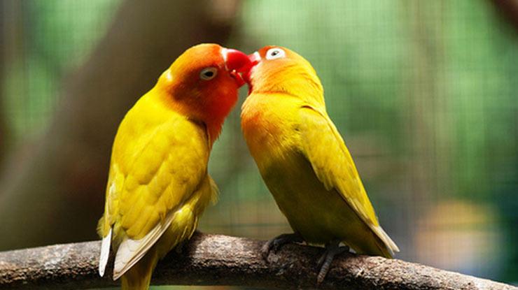 Birahi Lovebird