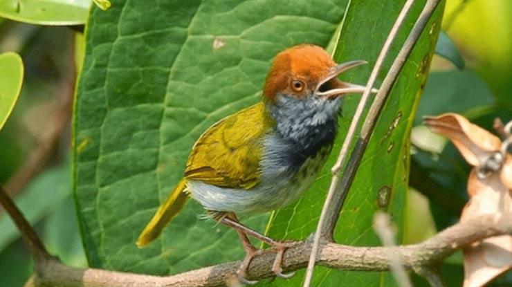 Burung Ciblek Jantan yang Bagus Untuk Masteran Memiliki Sayap Mengapit Rapat