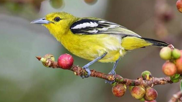 Burung Peliharaan Murah Cikpow atau Cipoh