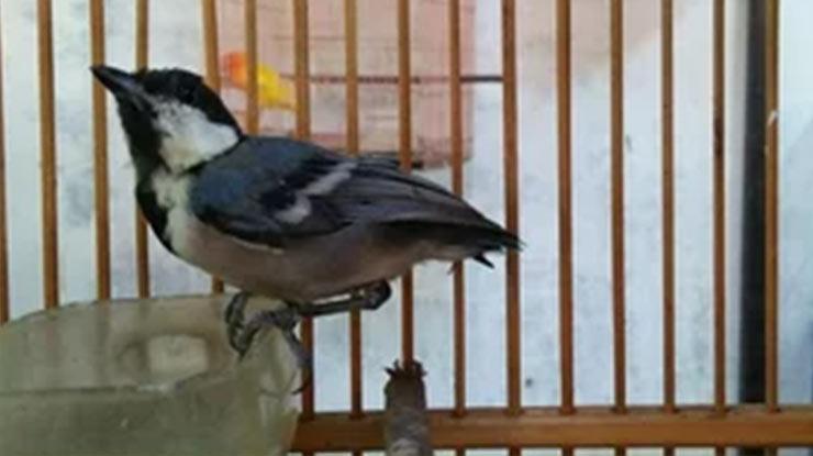 Burung Peliharaan Gelatik