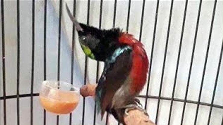 Jenis Burung Konin atau Kolibri Ninja