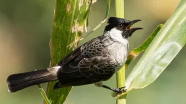 Jenis Burung Peliharaan Kutilang