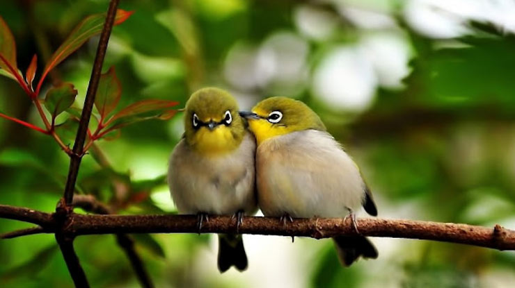 Burung Pleci Jantan dan Betina