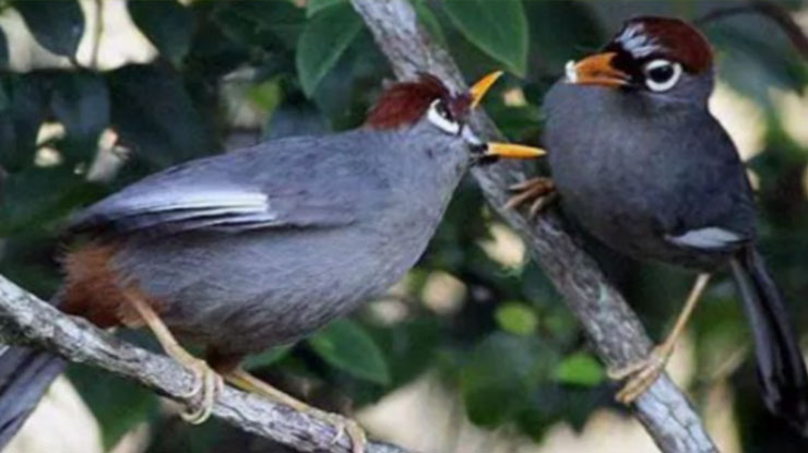 Burung Poksay Jantan dan Betina