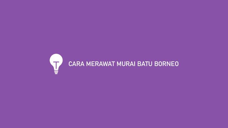 CARA MERAWAT MURAI BATU BORNEO