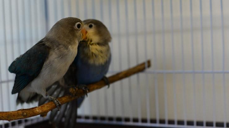Cara Membedakan Lovebird Jantan dan Betina dengan Melihat Burung Lovebird Ketiika Bertengger