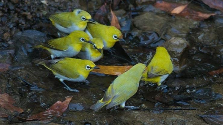 Cara Membedakan Jenis Kelamin Burung Pleci