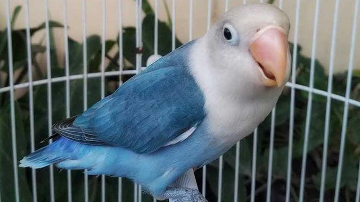 Cara Setting Lovebird jantan untuk Lomba