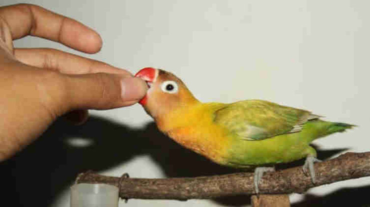 Emosi Lovebird