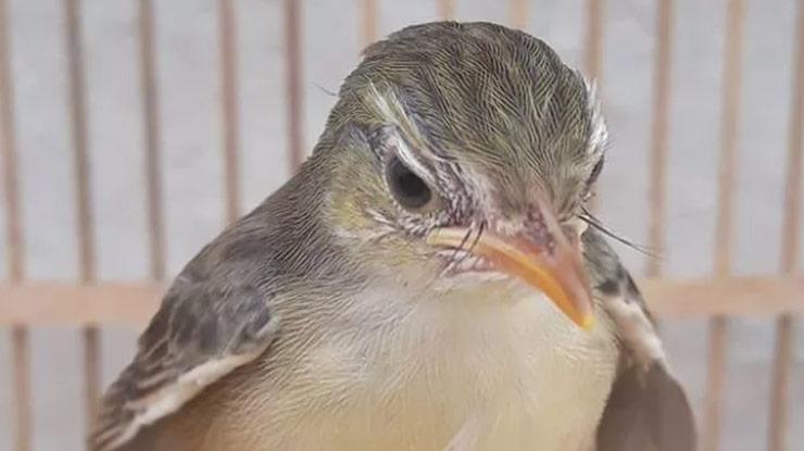 Kepala Burung Ciblek