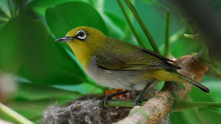 Kepala Burung Pleci Dada Kuning