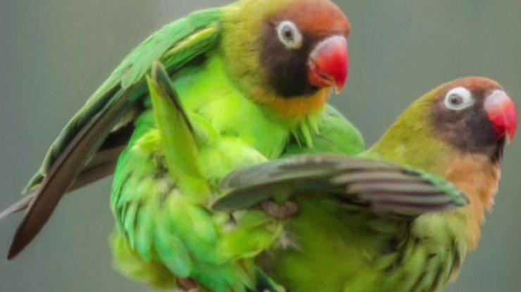 LOVEBIRD JANTAN DAN BETINA 1