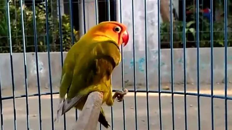 LOVEBIRD JANTAN SIAP KAWIN