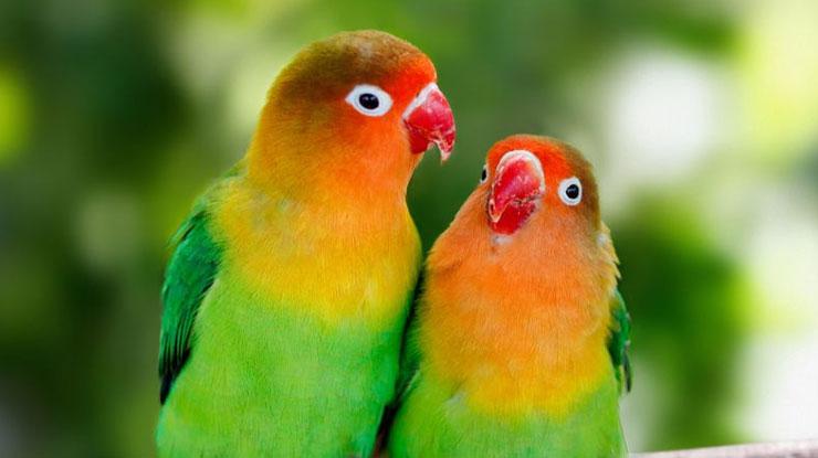 Lovebird Unthulan