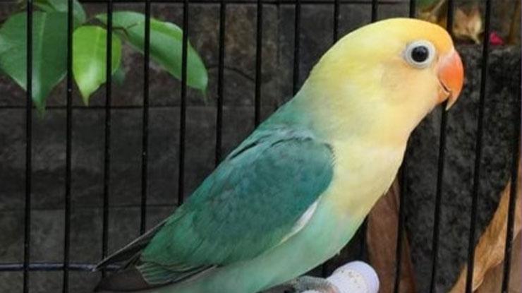Lovebird unik