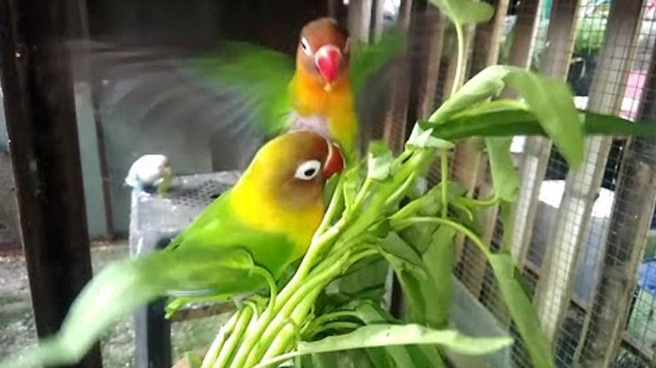 Manfaat Kankung Untuk Lovebird