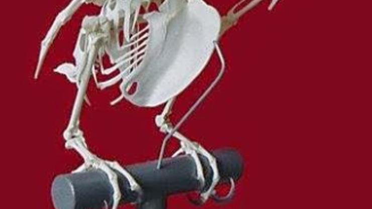 Meraba Tulang Supit Udang Lovebird Muda