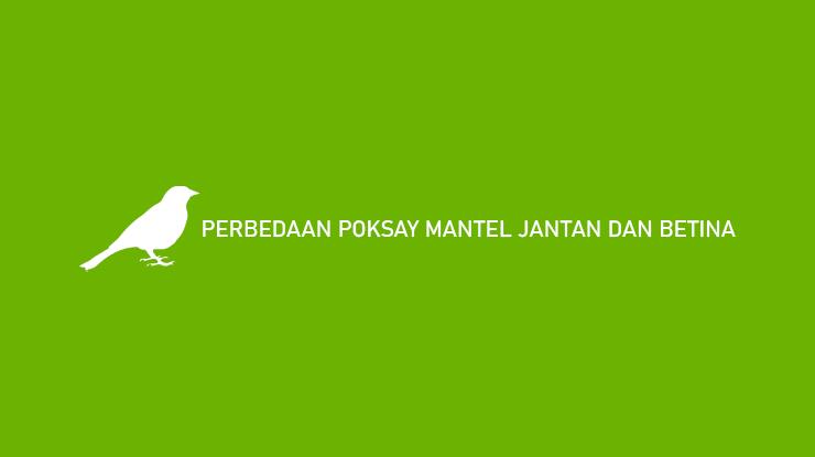 PERBEDAAN POKSAY MANTEL JANTAN DAN BETINA