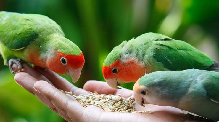Pakan Harian Lovebird