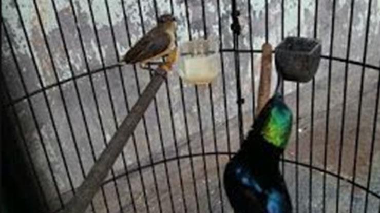 Pengecasan Kolibri Ninja Jantan Menggunakan Kolibri Betina