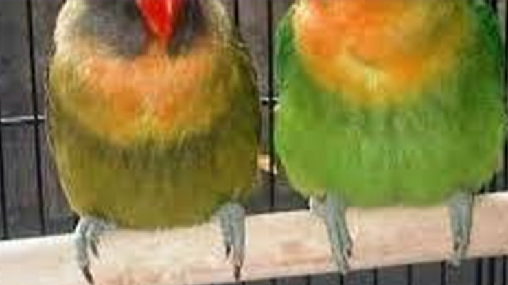 Posisi Kaki Lovebird saat Berdiri