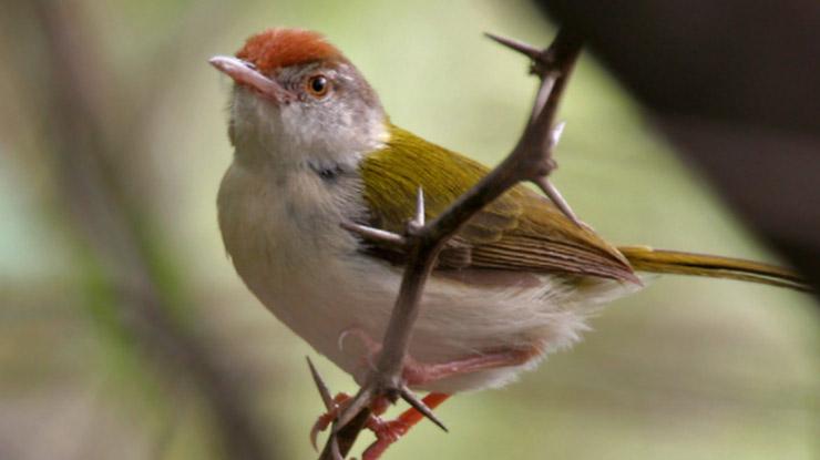 Postur tubuh burung Ciblek