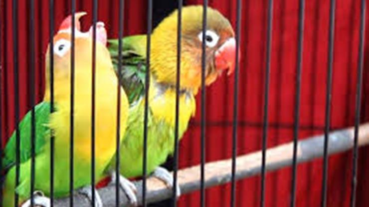 Settingan Unthulan Lovebird Jantan untuk Lomba