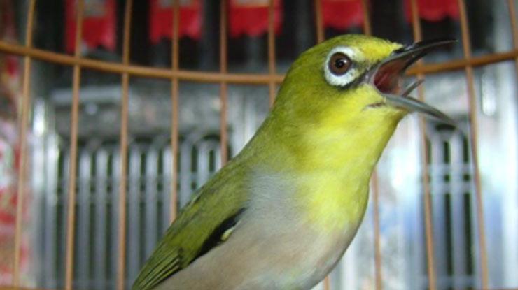 Suara Burung Pleci Gacor