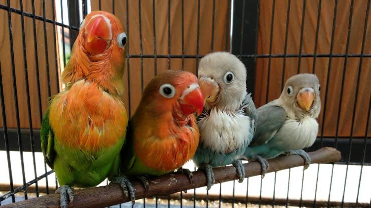 Tingkah Laku Lovebird saat Bermain Juga Bisa untuk Dijadikan Alat dalam Membedakan Lovebird Jantan dan Betina