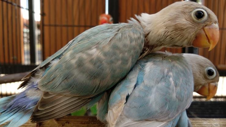 Tingkah Laku saat Lovebird Birahi Akan Membedakan Jenis Kelamin  Lovebird Jantan dan Betina