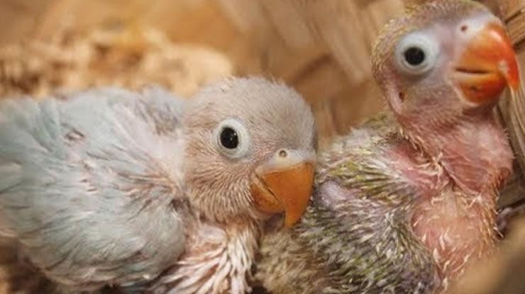 UKURAN TUBUH LOVEBIRD ANAKAN