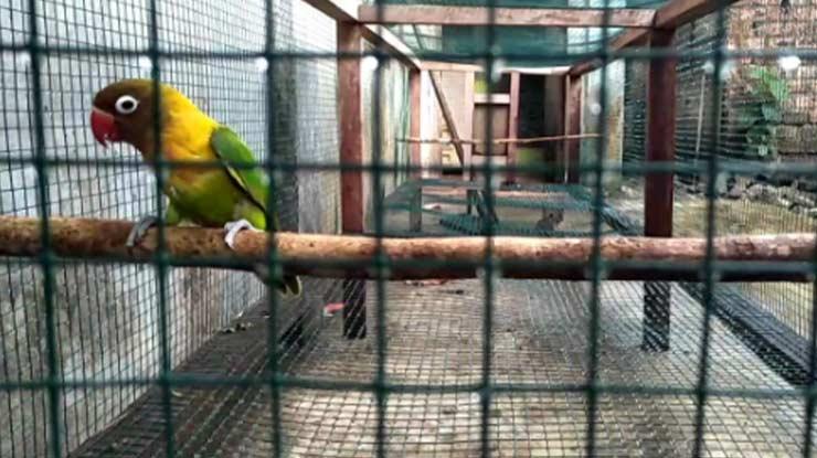 UMBARAN LOVEBIRD 1