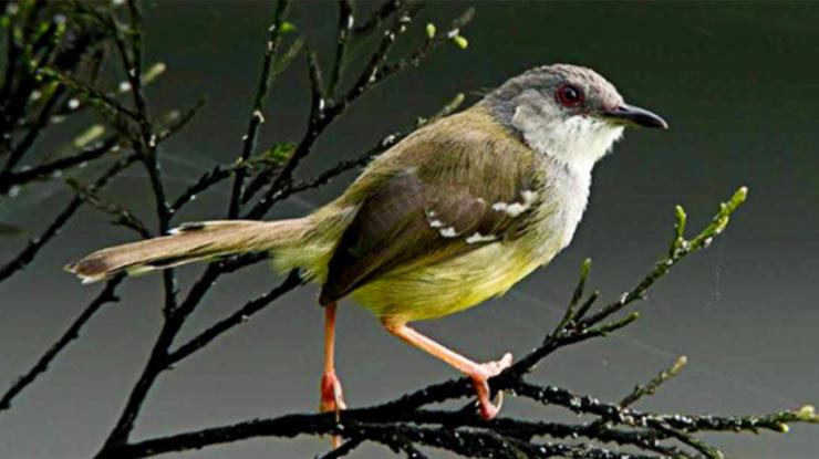 burung ciblek1