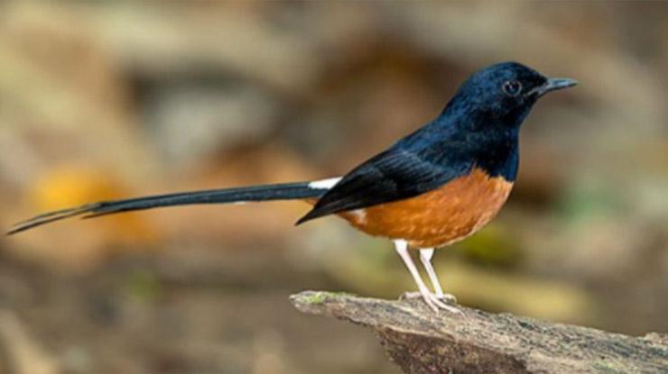 burung murai 1
