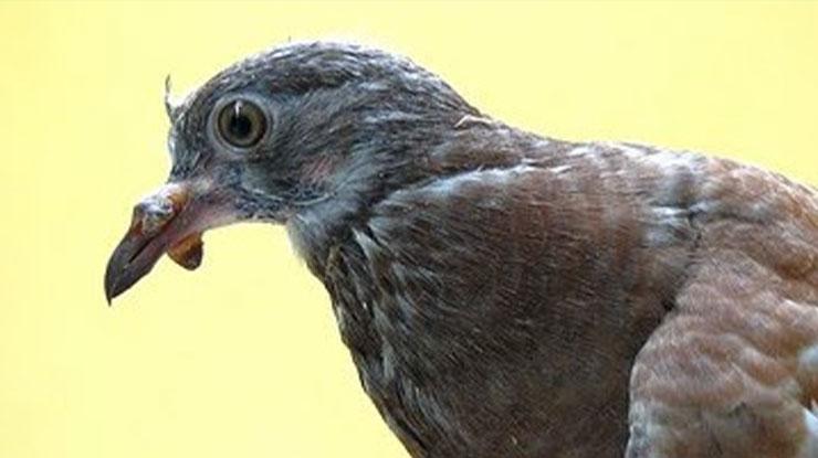 burung patek cacar