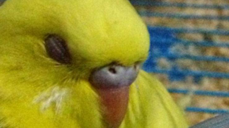 burung radang mata