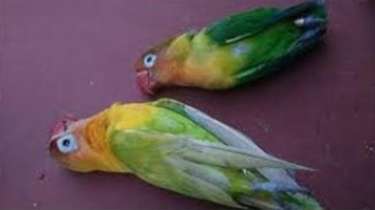 burung sesak nafas