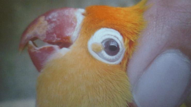 cacar kulit burung