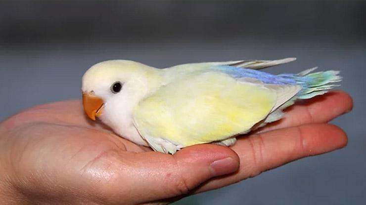 Australian Cinamon