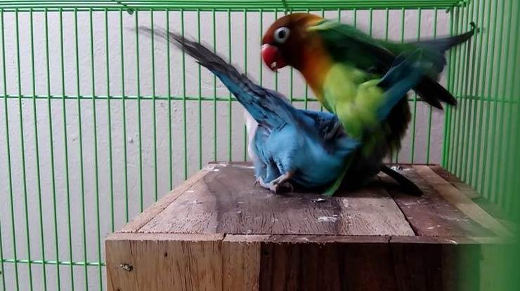 BIRAHI LOVEBIRD SANGAT TINGGI