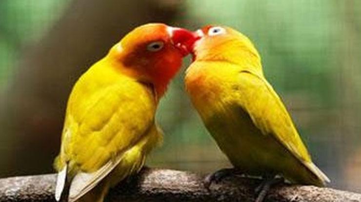 BURUNG LOVEBIRD JANTAN MELOLOH BETINA