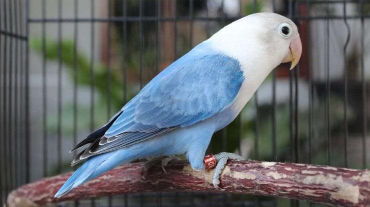 Jenis Burung Lovebird Biola
