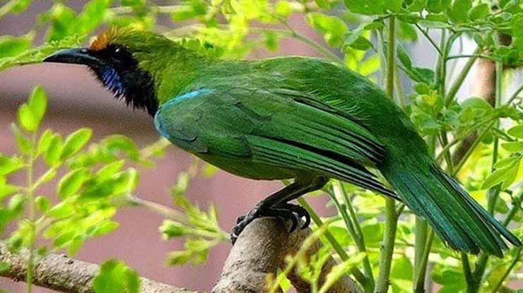 Burung CI Sumatra