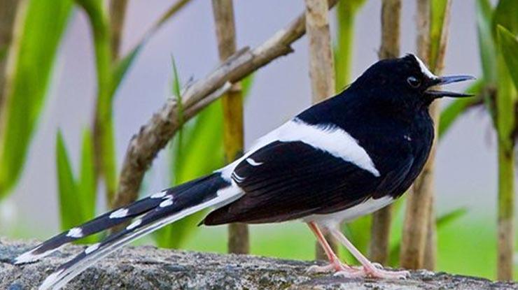 Burung Kacer Bali