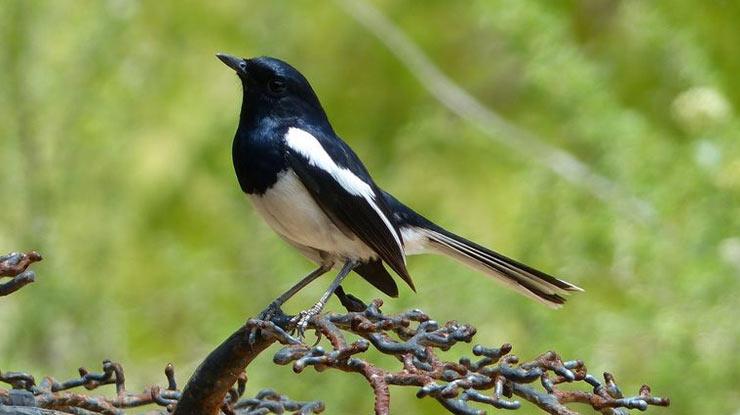 Burung Kacer Jantan