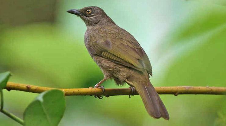 Burung Kapas Tembak Gacor