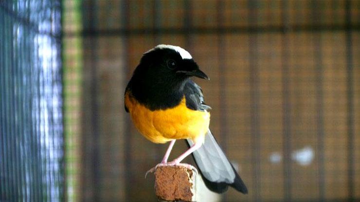 Burung Murai Filipina