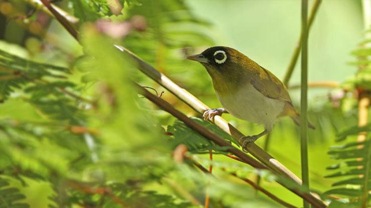Burung Pleci Papua